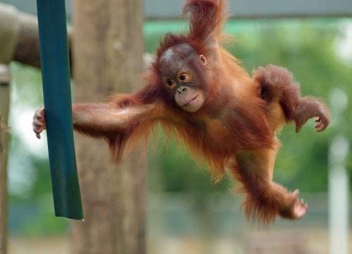 Molly Orangutan