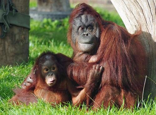 Orangutans Twycross Zoo