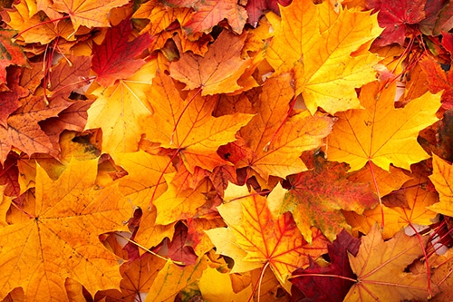 Autumn-orange-leaves