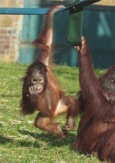 Twycross Zoo World Orangutan Day