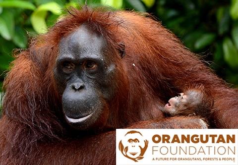 orangutan foundation